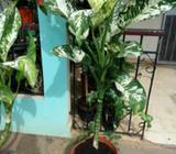 Planta Lotería Dieffenbachia