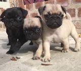 cachorro pug en adopción busca hogar