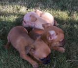 Preciosos Chihuahuas