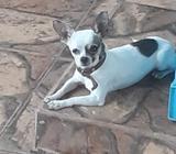 Chihuahua Toys Busca N9via