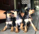 Cachorros de Doberman Pinscher