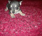 Se Vende Perra Chihuahua