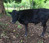 Holstein Negro