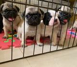 pug y bulldog frances disponible