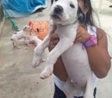 Cachorros Pitbull (2meses) Vacunado