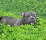 American Bully Macho Blue Disponible