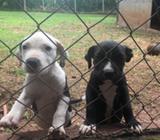 Vendo Cachorras Pitbul America Bulin