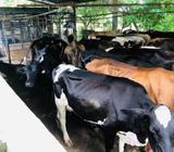 Se Venden 30 Vacas de Leche