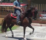 Caballo Peruano 6 Años en Venta 61339687