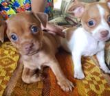 Machos Chihuahua