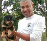 Compra Un Rottweiler, de Verdad