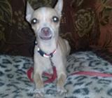 Se Vende Chihuahuas Puros en 300