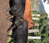 Venta Angus Rojas Y Negras Cel:68993963