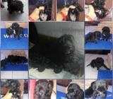 Vendo Lindos Cachorros Maltés Caniche