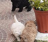 Hermosos Cachorros French Poodle