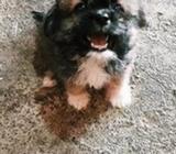 Se Vende Cachorro de Raza Lhasa Apso