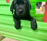 Labradores Retrievers