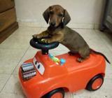 Cachorro Salchicha