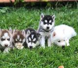 Hermosos Husky Siberianos en Venta